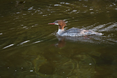 Adult female Merganser