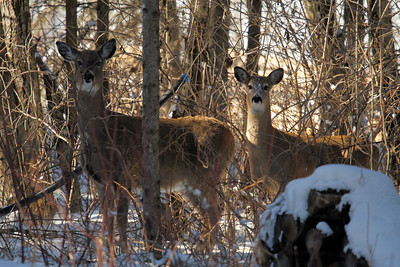 White tailed deer at home