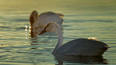 Golden Swans