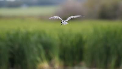 Juvenile Tern