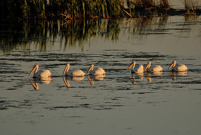 American White Pelicans on Big Lake just before sunset