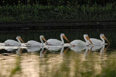 American White Pelicans on the lagoon near Big Lake