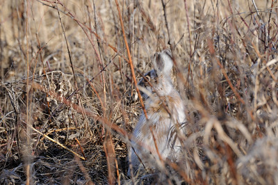 A jack rabbit uses its spring camouflage to (unsuccessfully) conceal its location in a meadow of wild rose and raspberry canes