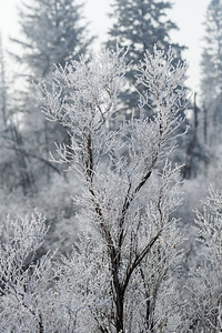 Spring Frost