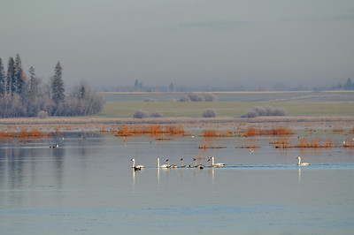 One or possibly two family groups of Tundra swans cruise a misty Big Lake