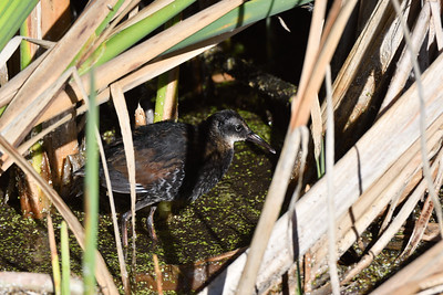 Virginia Rail (Juvenile)