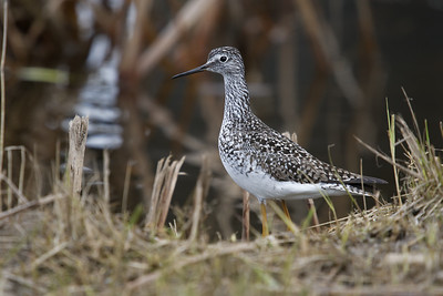 A small flock of Yellow legs appear to have taken up residence on the Sturgeon River near Ray Gibbon Drive. St Albert.