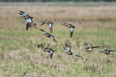 Blue Winged Teals (2)