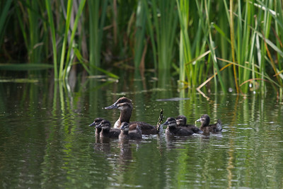 Ruddy Duck (fm) and brood