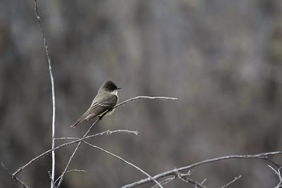 Mystery Flycatcher