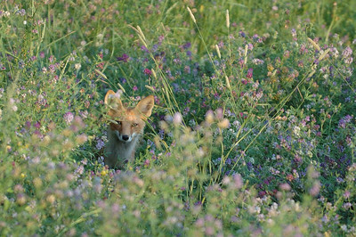 A fox peers from cover