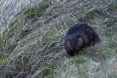 Spring Beaver