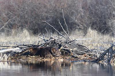 Beaver Kits