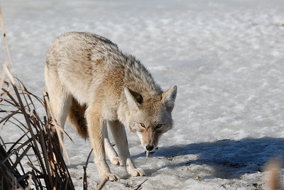 A Coyote is attracted to feed on a fish kill on the lower Sturgeon River that was caused by low oxygen levels in the shallow waters of Big Lake and the Sturgeon River over the winter.