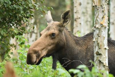 Mother Moose Portrait