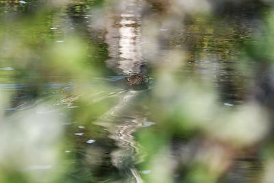 Beaver Blur