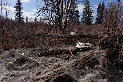 A moose has met its end over the fall/winter and its skeleton is revealed as the snow melts in the spring, found near the Sturgeon River