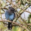 Bluejay juvenile 3
