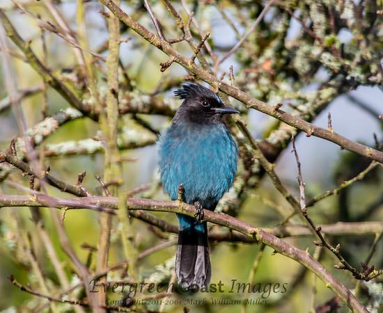 Bluejay juvenile 2