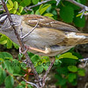 White-crowned Sparrow (close)