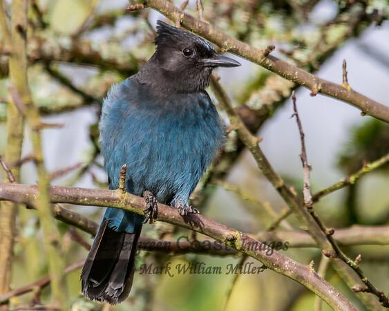 Bluejay juvenile 4