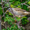 White-crowned Sparrow (wide)