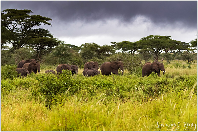 African elephants, approaching to the other side at Serengeti national park