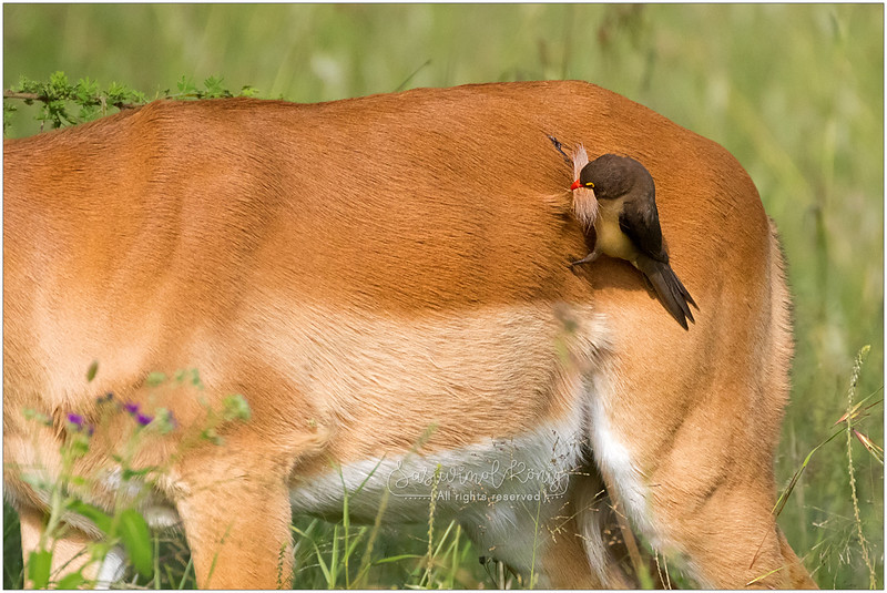 Impala & Red billed Oxpecker