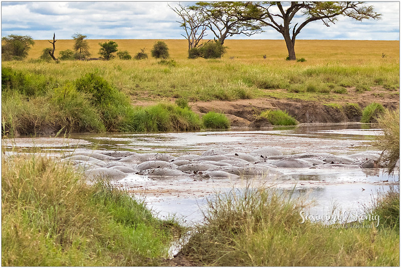 A bloat of hippos in muddy water. A sunny day like this, water can prevent them from overheating