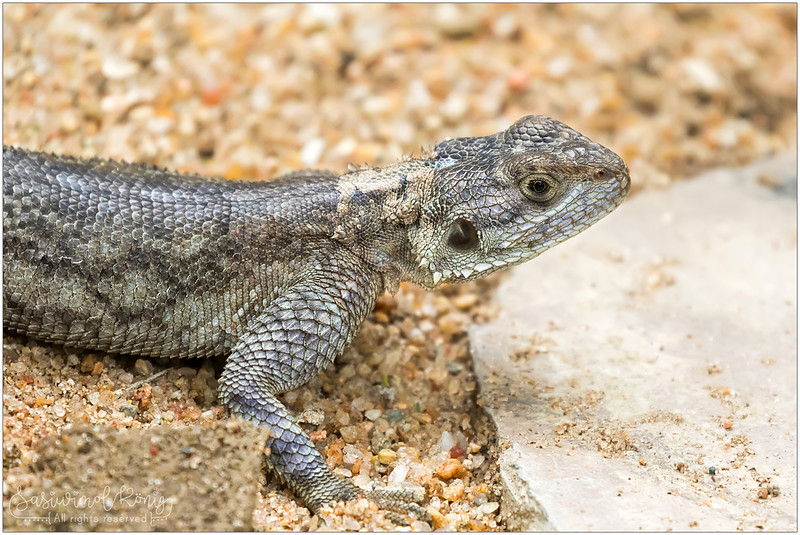 Rock Agama, female?