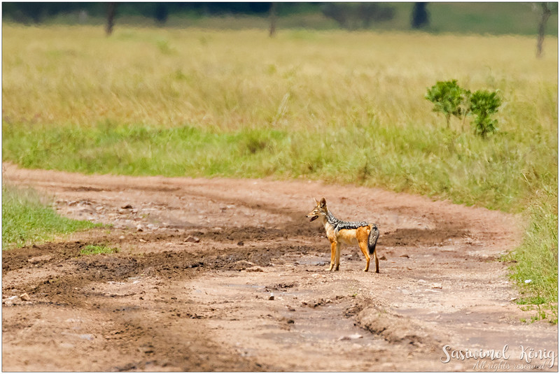 Black-backed jackal leading our path