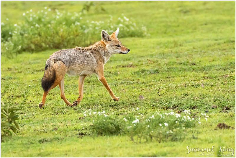 A jackal running around