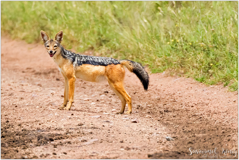 Black-backed jackal from afar