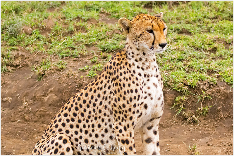 Finally got to see the real Cheetah upclose, of coz still alive and outside the cage. I was quite disappointed with the body shape as I expected this hunter to be a lot bigger, chubbier but this cat truly has a slender body. Well, the fastest land animal gotta have lightly built body, right?