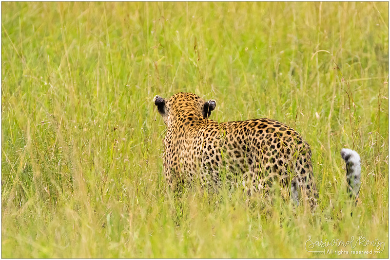 A leopard in high grass