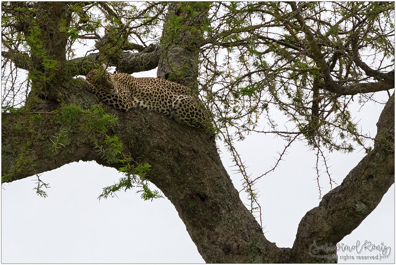 Do not wake up a sleeping leopard