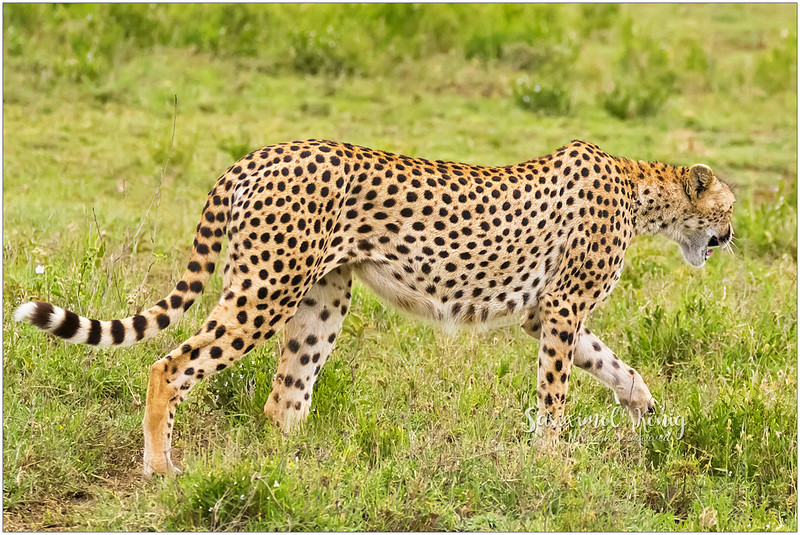 Beautiful tail.. long and spotty with striped markings. Is this Cheetah singing or yawning?