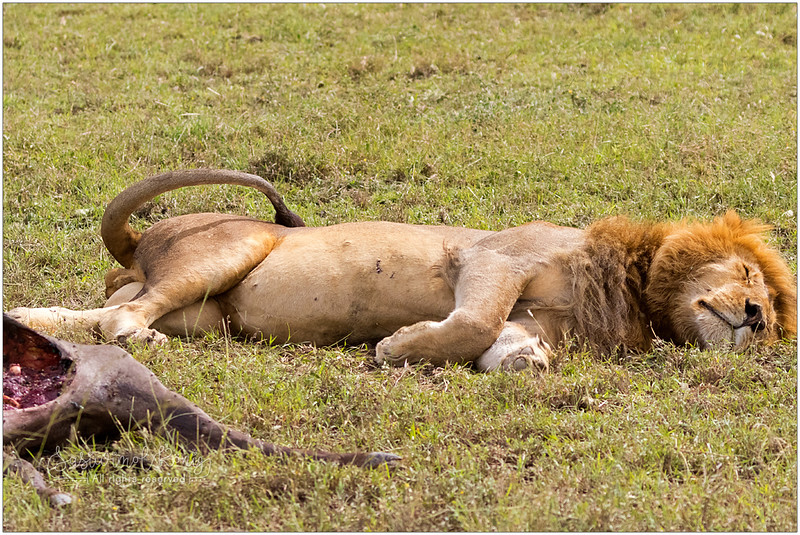 A super full male lion, sleeping next to a carcass, his prey