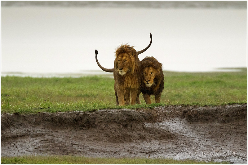 2 male lions greeting each other