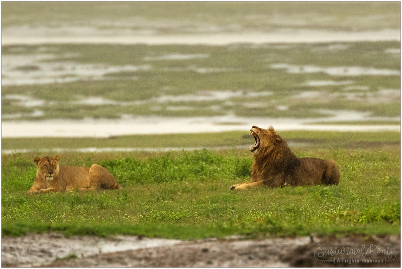 Female and male lion in the rain, far far away