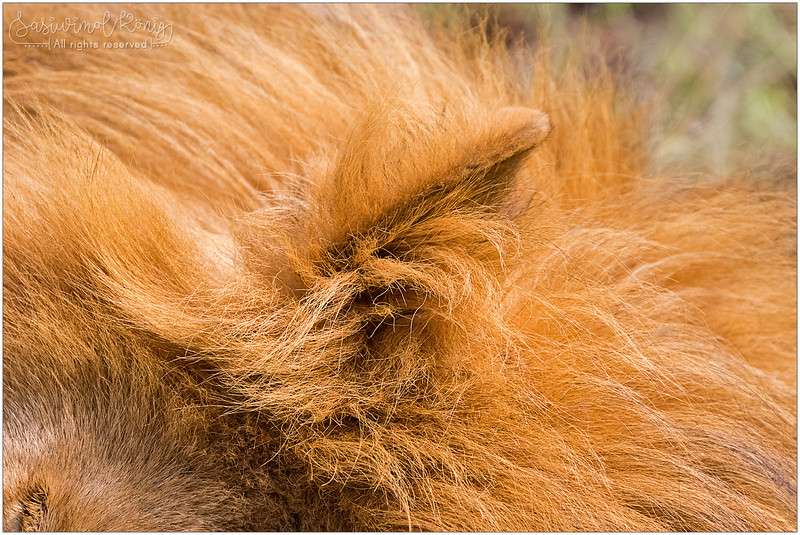 A long tawny mane of a sleepy lion