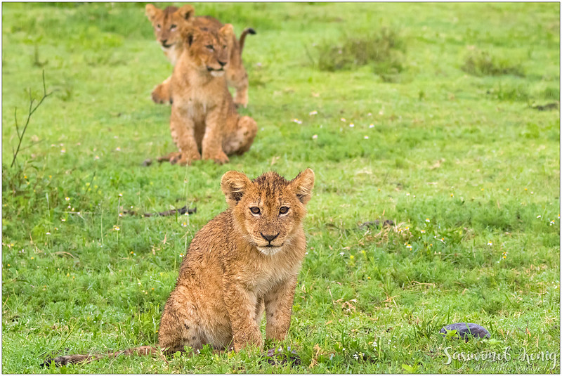Cubs, looking so adorable.