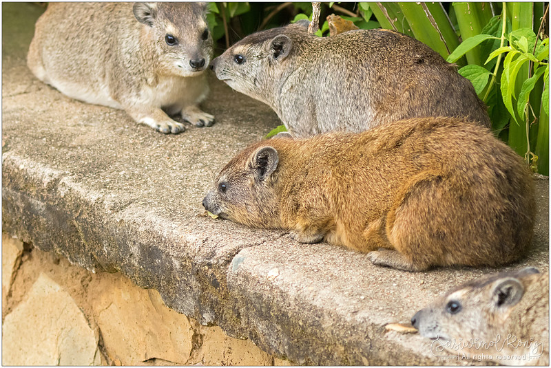 Tree Hyrax