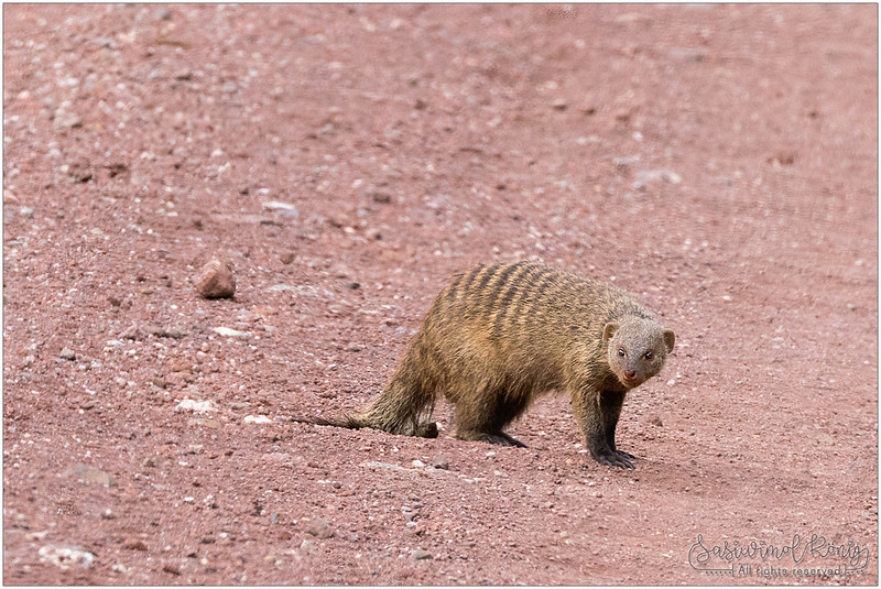 Banded Mongoose starring back