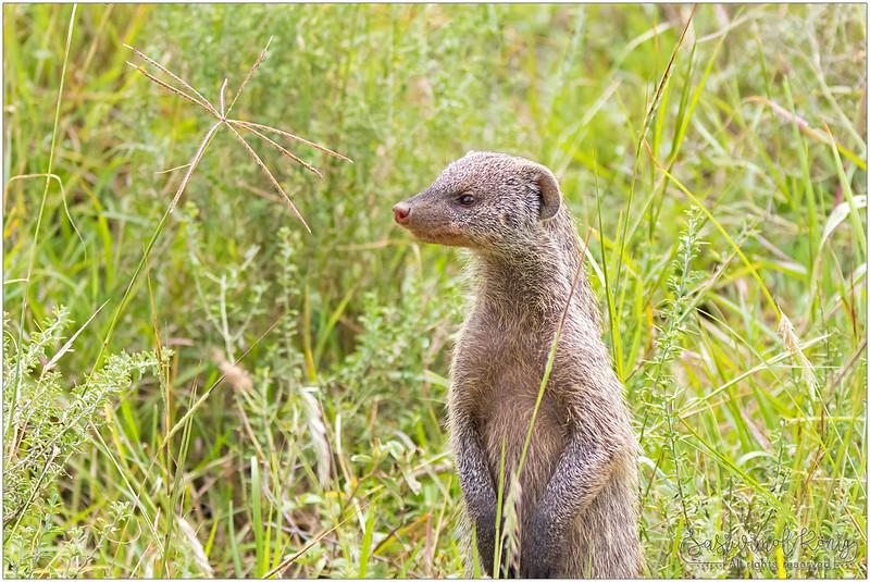Banded Mongoose checking out