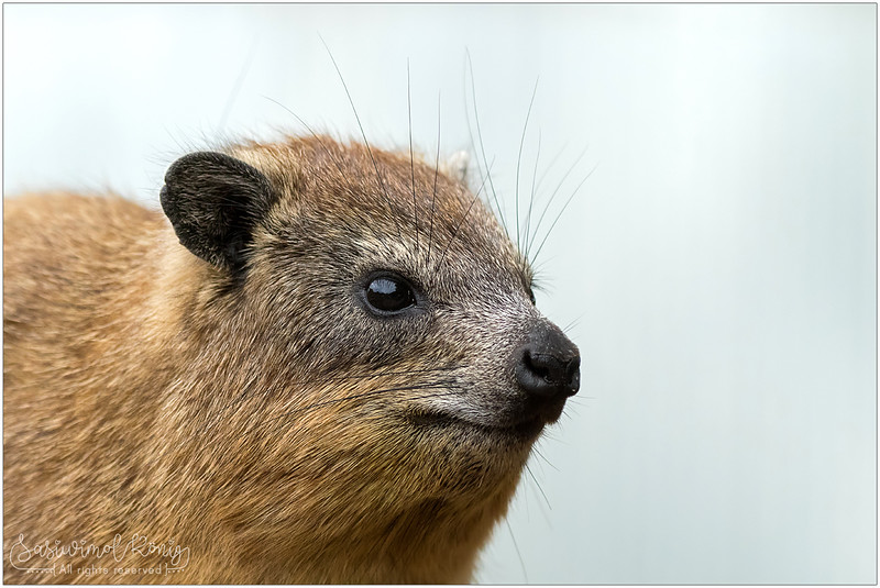 Closeup of Tree Hyrax