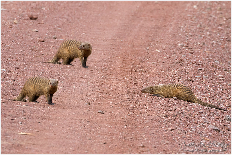 Banded Mongooses on the ground