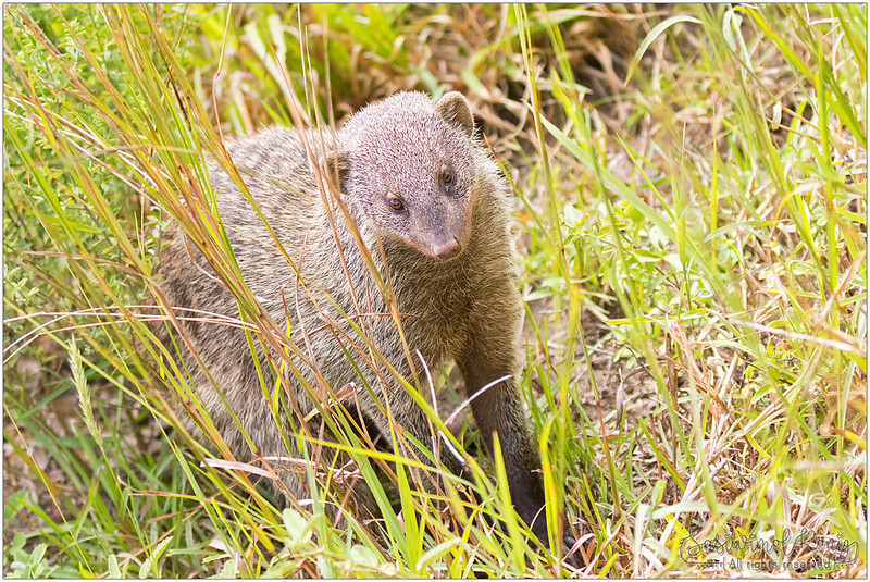 Banded Mongoose coming out from a burrows