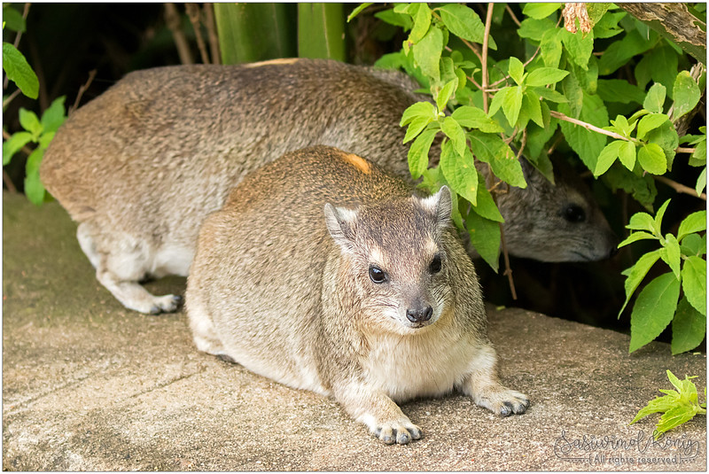 Rock Hyrax, usually live in rock crevices