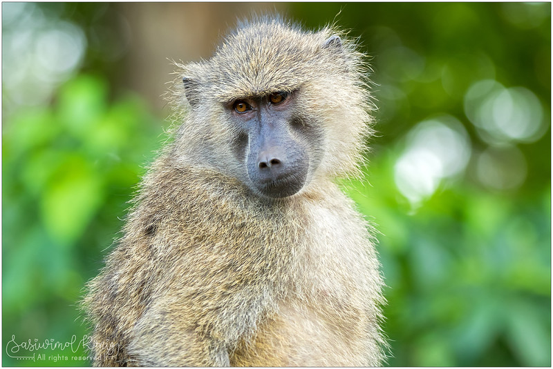 Olive Baboon.. with sympathetic face